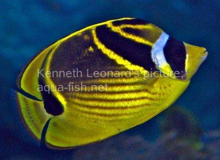 Raccoon Butterflyfish, picture no. 6