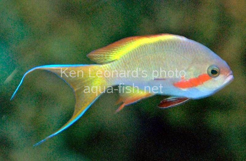 Red cheeked fairy basslet for Red saltwater fish