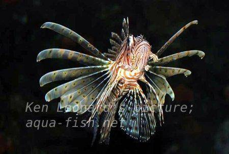 Red Lionfish, picture no. 10