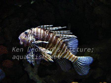 Red Lionfish, picture no. 19