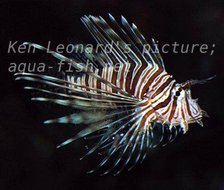 Red Lionfish, picture no. 20