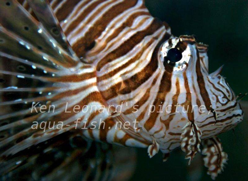 Red lionfish for Red saltwater fish