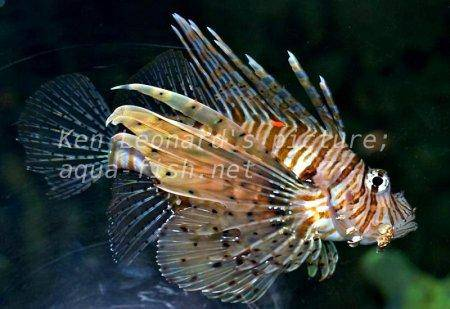 Red Lionfish, picture no. 24