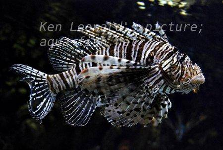 Red Lionfish, picture no. 25