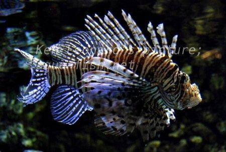 Red Lionfish, picture no. 26