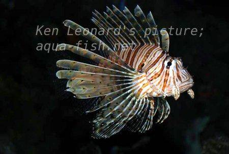 Red Lionfish, picture no. 27