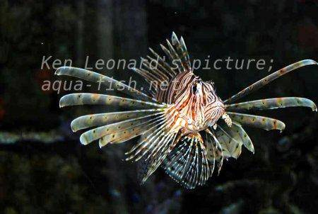 Red Lionfish, picture no. 28