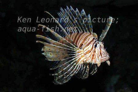 Red Lionfish, picture no. 11
