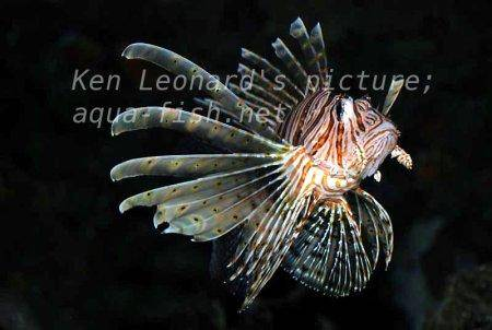 Red Lionfish, picture no. 29