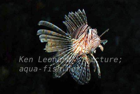 Red Lionfish, picture no. 30
