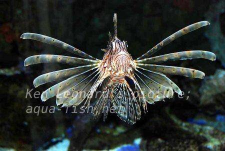 Red Lionfish, picture no. 32