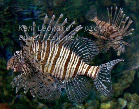 Red Lionfish, picture no. 12