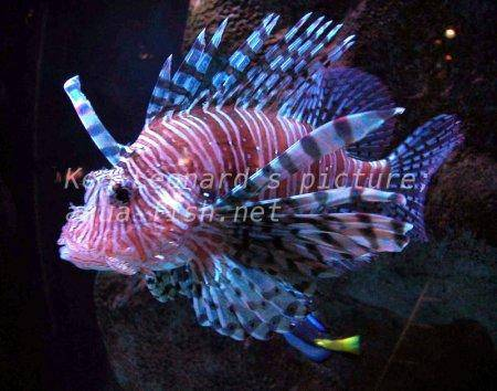 Red Lionfish, picture no. 13