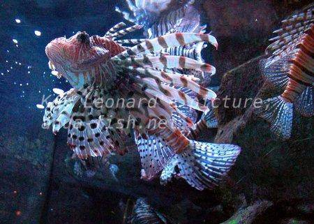 Red Lionfish, picture no. 14
