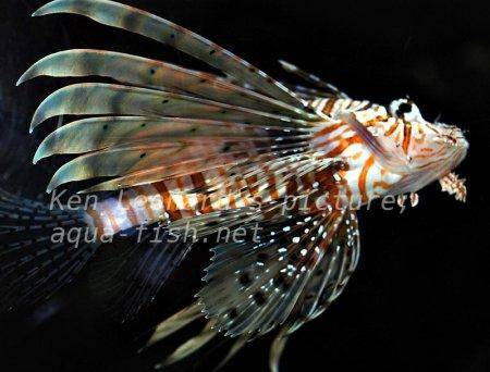 Red Lionfish, picture no. 15