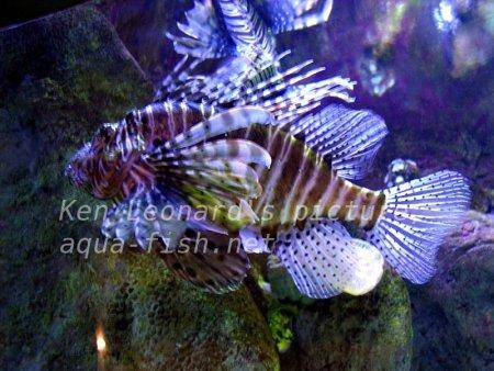 Red Lionfish, picture no. 16
