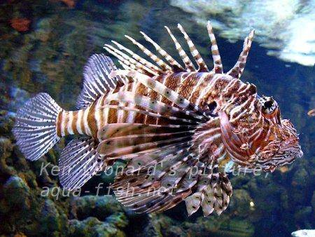 Red Lionfish, picture no. 17
