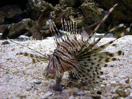 Red Lionfish, picture no. 18