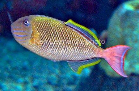 Redtail Triggerfish picture 4
