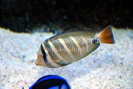 Sailfin Tang picture 4