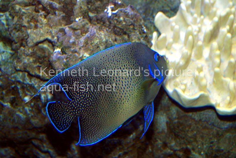 The Blueringed Angelfish Pomacanthus annularis is a handsome specimen both as a juvenile and as an adult Though juveniles are very similar in appearance to several other members of the Pomacanthus genus the adult is easily distinguished The adult has a vibrant blue patterning of graceful upcurving bands on top of a golden brown background