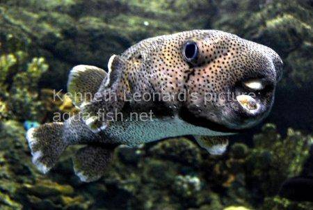 Spot-Fin Porcupinefish picture no. 7