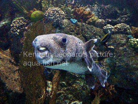Spot-Fin Porcupinefish picture no. 9