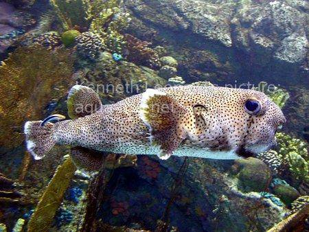 Spot-Fin Porcupinefish picture no. 10