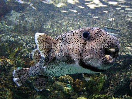 Spot-Fin Porcupinefish picture no. 11
