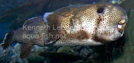 Spot-Fin Porcupinefish picture no. 12