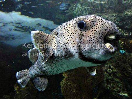 Spot-Fin Porcupinefish picture no. 13
