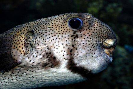 Spot-Fin Porcupinefish picture no. 14