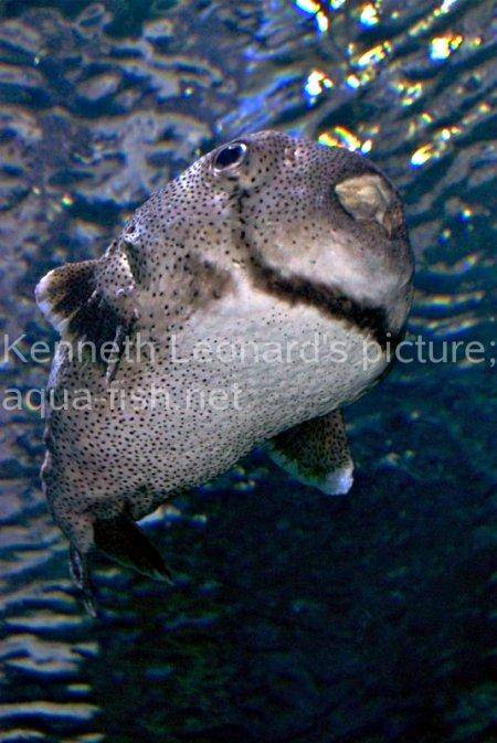 Spot-Fin Porcupinefish picture no. 15