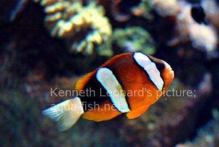 Three-Banded Anemonefish, picture 2