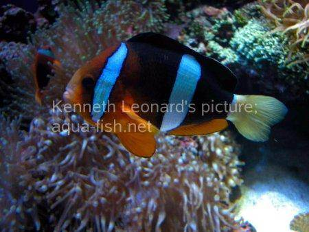 Three-Banded Anemonefish, picture 3