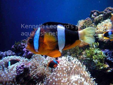 Three-Banded Anemonefish, picture 4