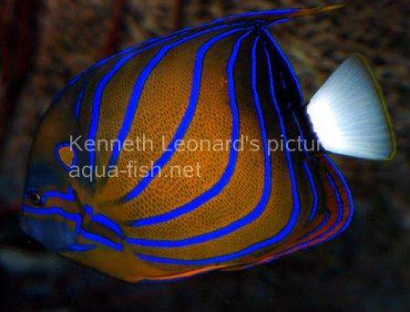 Bluering Angelfish, picture 3