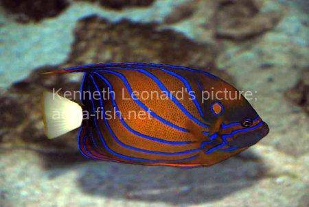 Bluering Angelfish, picture 4