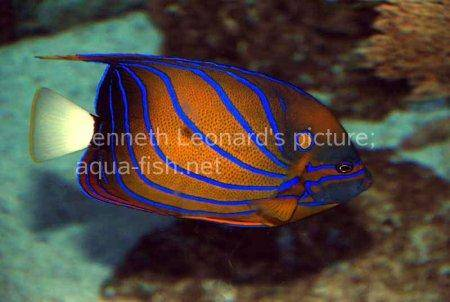 Bluering Angelfish, picture 6