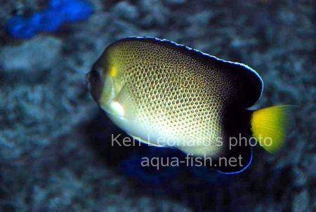 Yellowtail Angelfish picture 2