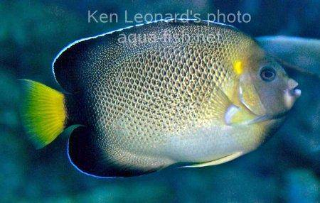 Yellowtail Angelfish picture 3