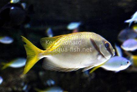 Barred Rabbitfish, picture no. 6