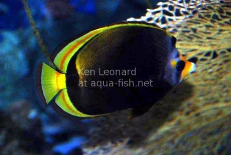 Black Butterflyfish, picture 1