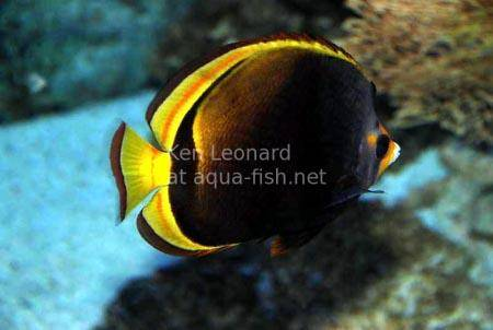 Black Butterflyfish, picture 2