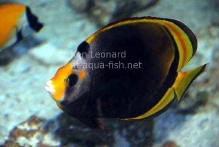 Black Butterflyfish, picture 3