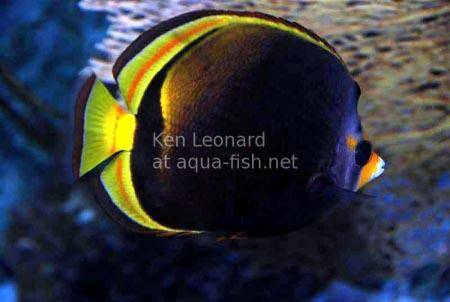 Black Butterflyfish, picture 5