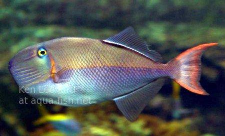 Bluelined Triggerfish, picture no. 1