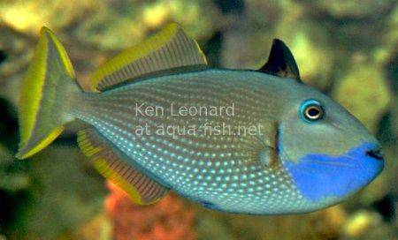 Gilded Triggerfish, picture 1