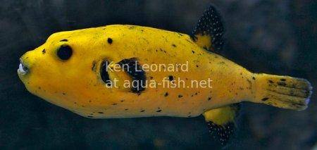 Golden Puffer, picture no. 1