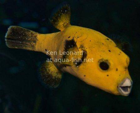 Golden Puffer, picture no. 3